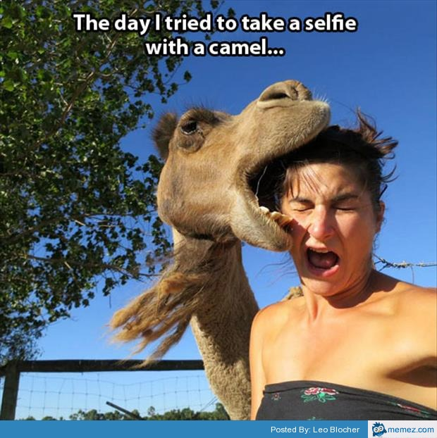 The day i tried to take a selfie with a camel Camel Meme