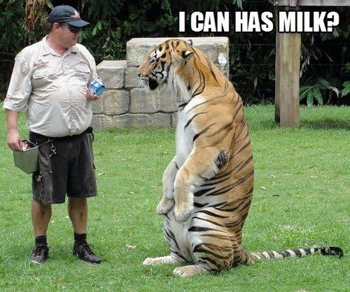I can has milk Tiger Meme