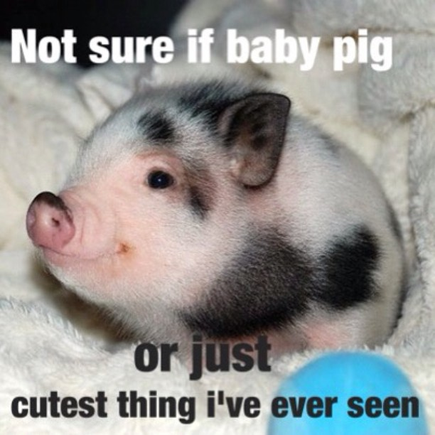 Not sure if baby pig or just cutest Pigs Meme