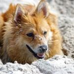 Desktop Wallpaper Shiba Inu Dog Play Pet Hd Image Picture Background E76b35