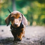 Desktop Wallpaper Dachshund Puppy Hd Image Picture Background Toct7r