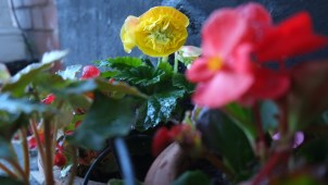 The Yellow Begonia