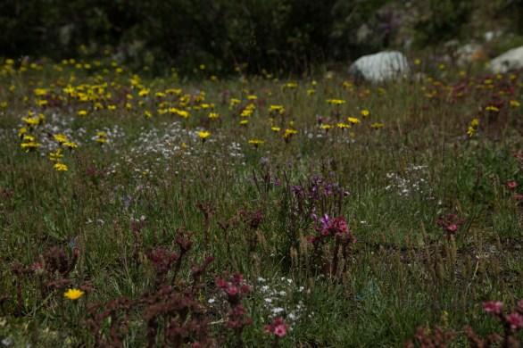 wunderbare Alpenblumen