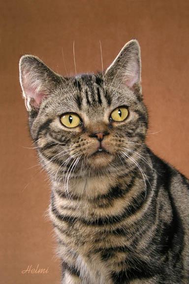 American Shorthair Cat 1