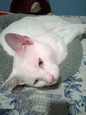 My Albino Cat Kilo