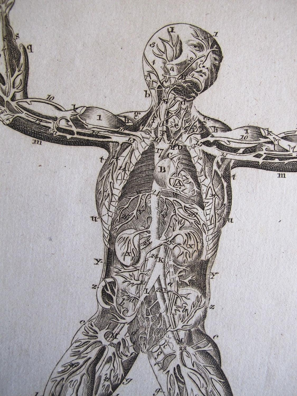 Anatomy Human Heart Blood Vessels Arteries Veins