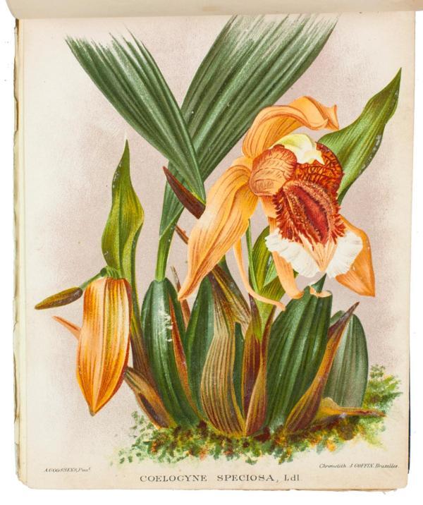 Dictionnaire iconographique des orchidées.Brussels, B ...