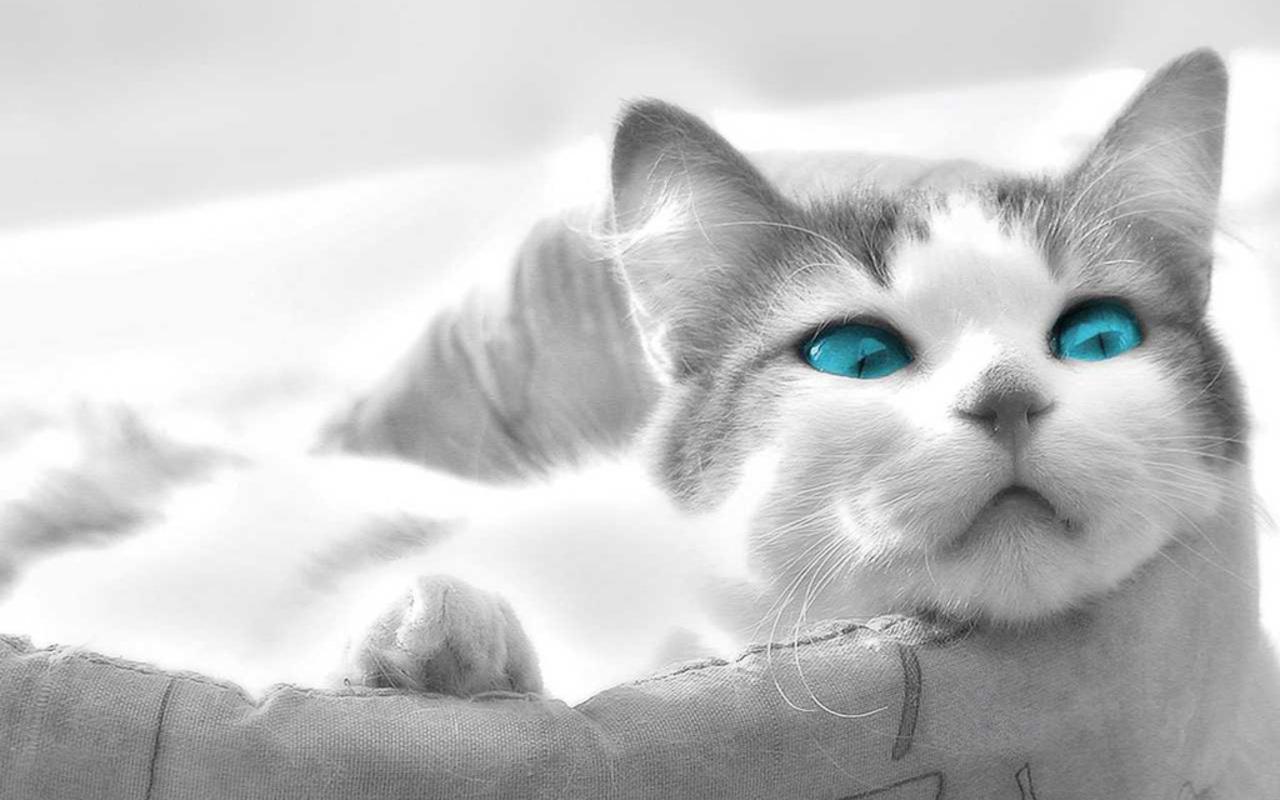 blue eyed cats | inspiration photos