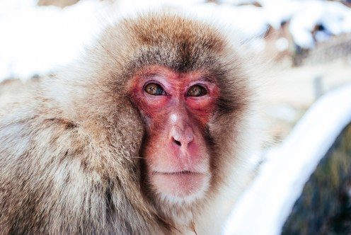 japan-snow-monkey-nagano
