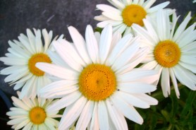 flowers happy daisies