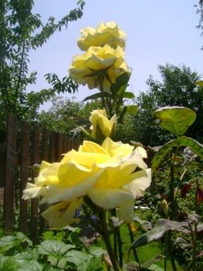 yellow roses lil's garden