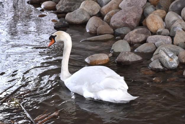 mute swan 11-13-2018 3-22-19 PM