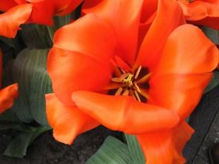 Flower at Keukenhof