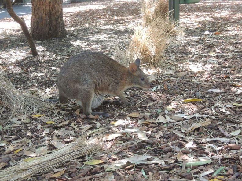 Voľne pohybyjúca sa wallaby