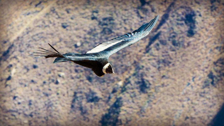 Soaring condor on the Colca Canyon Trek