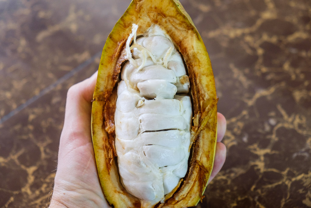 Hand holding a cacao fruit that has been cut in half.