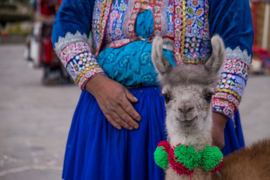 Homestay tours in Colca Canyon - Young llama.