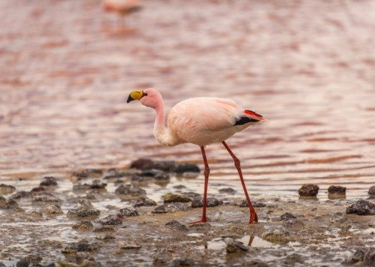 Flamingos in Laguna Hedionda