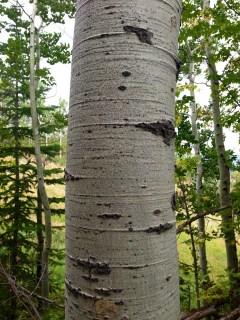 Aspen tree, Utah