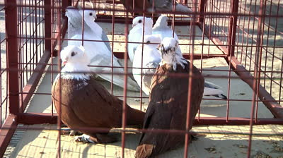 stock-footage-fancy-pigeons-in-a-cage-in-the-exhibition