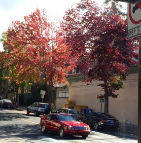 Maples trees on Rose Street