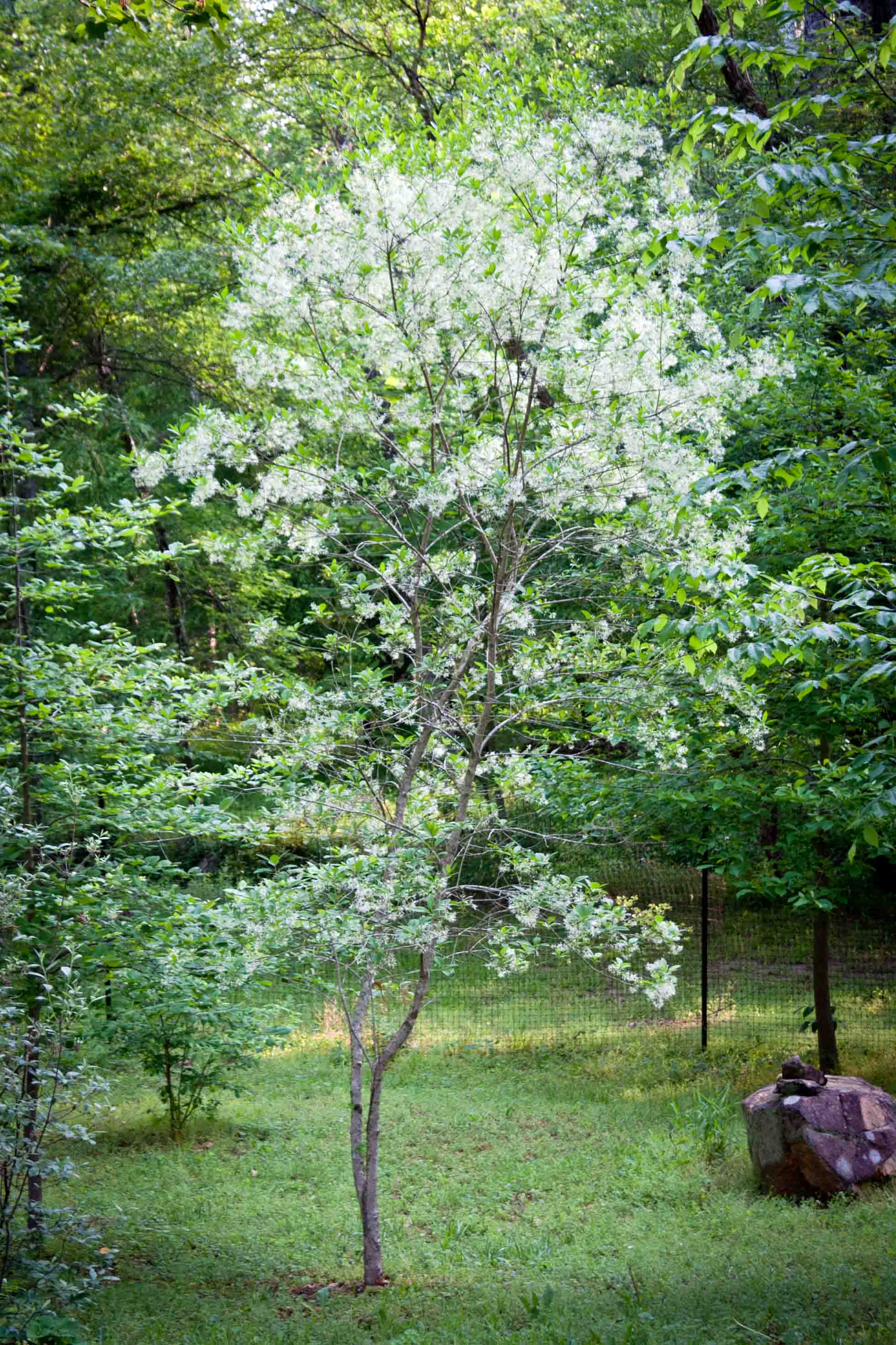 will our spring blooming native white fringetrees be victims of the emerald ash borer too
