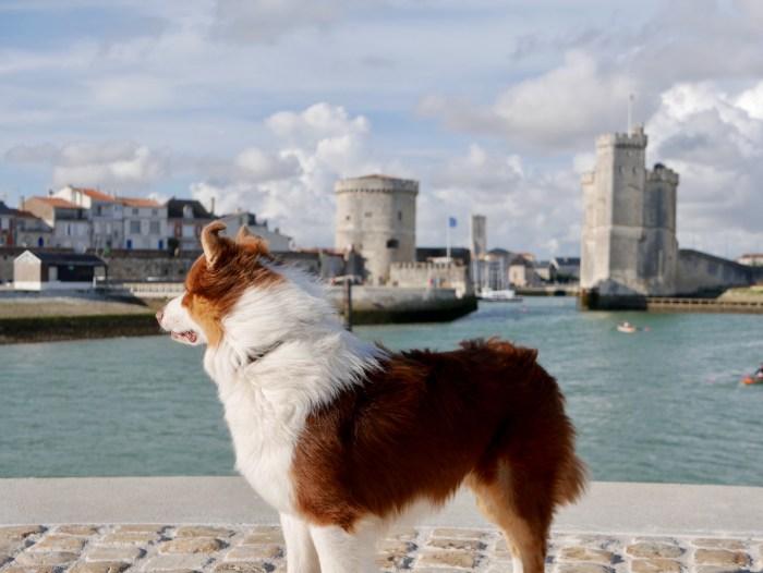 chien berger australien La Rochelle