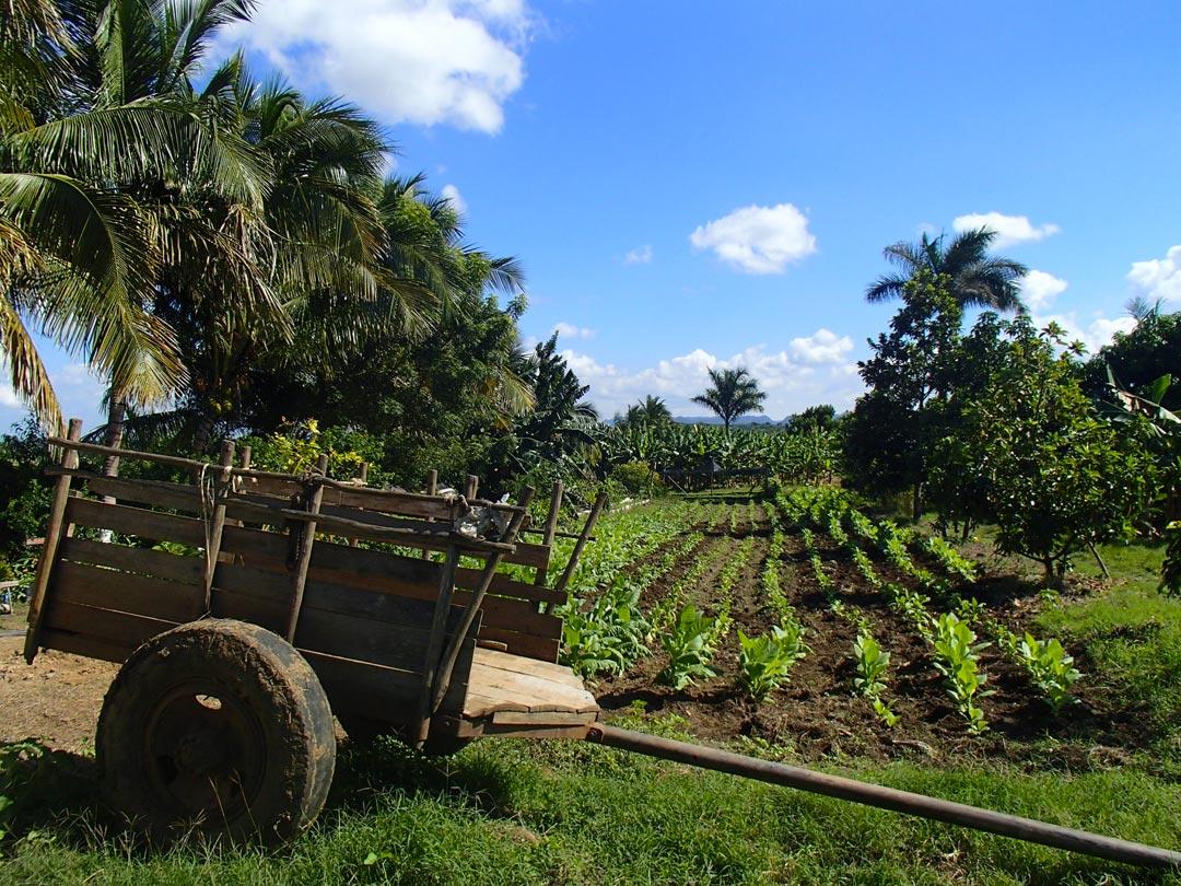 Association tabac-cocotier-avocatier, province de Pinar del Rio, Cuba © Dorian Félix