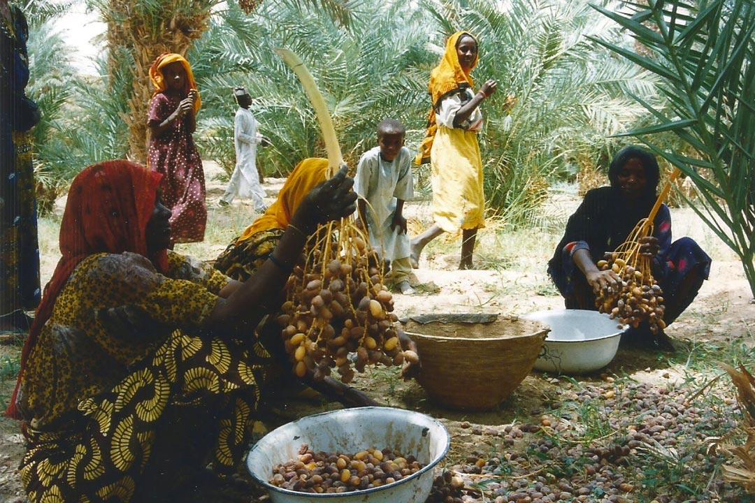 Récolte des dattes, palmeraie de Faya-Largeau, Tchad