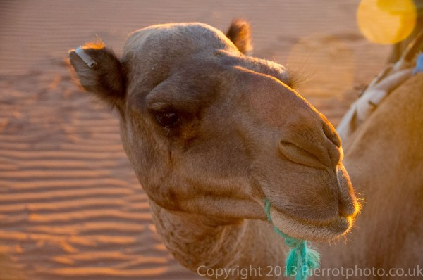 Closeup of camel at sunset in the Sahara desert, Morocco
