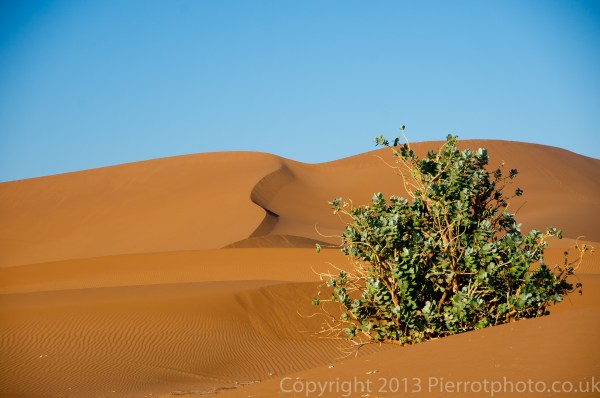 Greenery in the sand dunes in the Sahara desert, Morocco