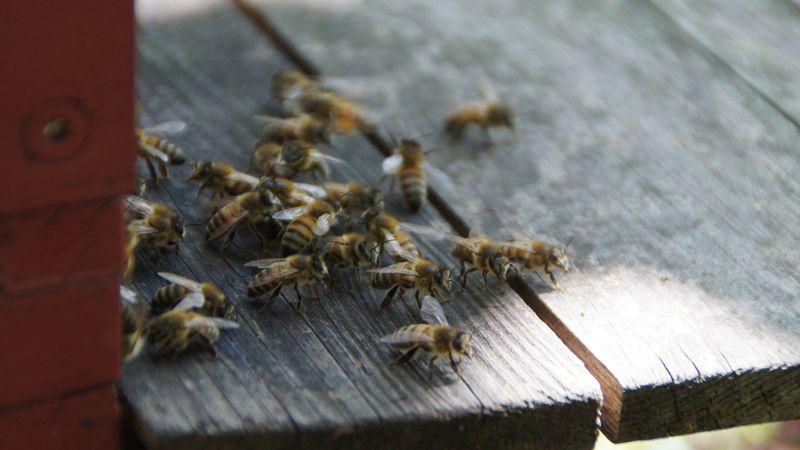 Ausruhen, einfliegen, ausfliegen - Gewusel vor dem Eingang des Bienenstocks