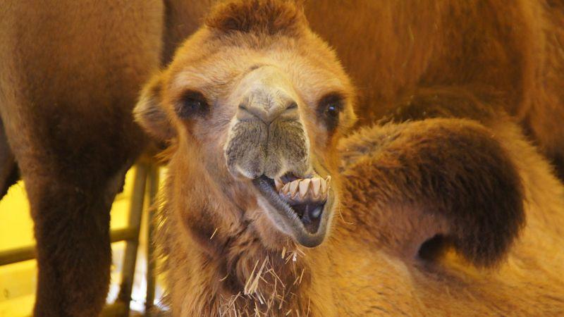 Alles muss man zweimal machen: Kamel beim Wiederkäuen