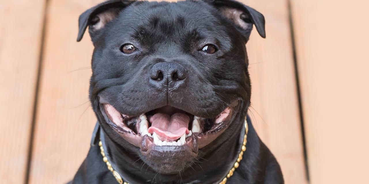 Staffordshire Bull Terrier – krótka historia powstania rasy