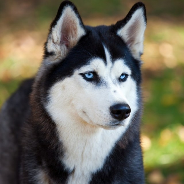 siberian-husky_medium
