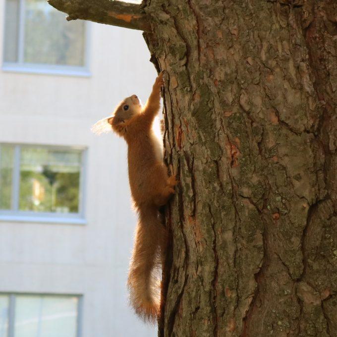 Orava kiipeää puuhun.