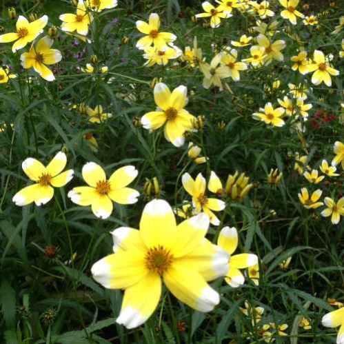 Bidens aurea Hannay's Lemon Drop - Tandzaad