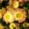 Chrysanthemum Dernier Soleil