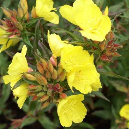 Oenothera fruticosa glauca Erica Robin - Teunisbloem