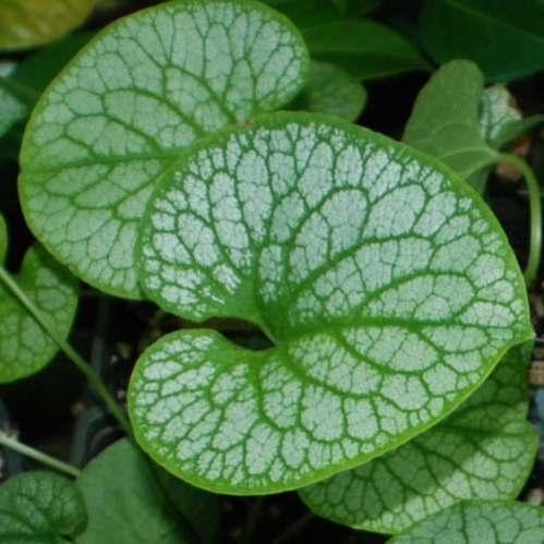 Brunnera macrophylla Alexander's Great