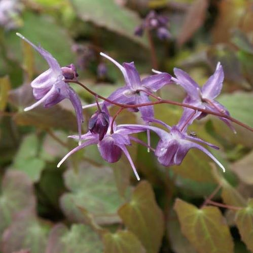 Epimedium grandiflorum Lilafee
