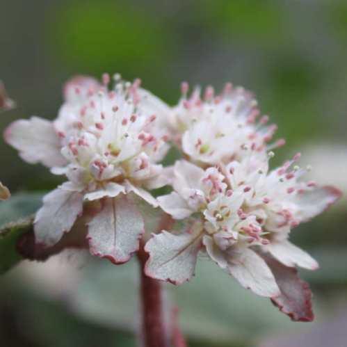 Chrysosplenium macrophyllum - Goudveil