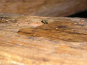 insetto xilofago