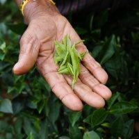 Międzynarodowy Dzień Herbaty - 15 grudnia i 21 maja