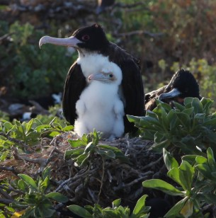 Great frigate bird and chick