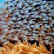 3.Fish_Menjangen