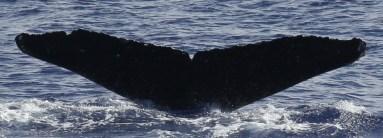 Whale MIMn-031 seen over Marpi Reef, near Saipan. Photo: NOAA Fisheries/Marie Hill