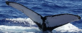 Whale MIMn-034 seen over Marpi Reef, near Saipan. Photo: NOAA Fisheries/Marie Hill