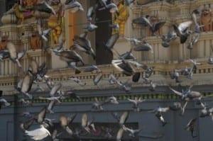 Pigeon Patrol, Pigeon Deterrent, bird control, pigeon control, bird repellent, bird proof, bird contrl, sound unit, netting bird, bird netting, spikes, pointy things, Ultra-Flex Bird Spikes, bird deterrent, bird spike, bird control, spikes, bird repellent spikes, bird deterrent spikes, steel bird spikes, bird netting, bird control, netting bird, bird repellent, pigeon control, bird proof, bird problems, bird proofing, bird repellers, bird control systems, anti bird, 1-877-4-no-bird, no bird, nobird, bird lazers, bird lasers bird lasers, sonic bird repellers, ultrasonic bird repellers, Get rid of pigeons, pigeon problems, pigeon control system, Keep Pigeons Off, Canada, USA, Manufacturer bird control, Bird Control Products, bird deterrent, bird net, bird netting, bird removal, bird repellent, bird spike strips, bird spikes, birds off, building maintenance, Integrated Pest Supplies Ltd, Pest Control Products, New Westminster, BC,building maintenance birds, building maintenance tips, get rid of birds, how to get rid of birds, pigeon control, scare birds, stop bird, High frequencies, ultrasonic ,sonic , sound waves ,roof tops, ledges, balconies, buildings ,warehouses, bird sound deterrents, physical bird deterrents ,visual bird deterrents, disinfectant, Tubesonic, keep birds out, pest bird, how to get rid of bird, electric shock, bird deterrent system, keep birds away, pest bird problems, plastic bird spikes, scare birds, bird off get, suppliers of bird control, Integrated Pest Control, intergraded, intergratedpestsupplies, pigeon spikes, bird spikes, pigeon deterrent, get rid of pigeons, pigeon control, bird spike, pigeon deterrents, how to get rid of pigeons