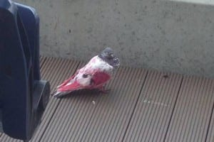 pink pigeon adopted by doves